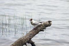 A gull. Sitting on a birch log Stock Photo