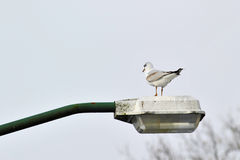 Gull on lamppost Stock Image