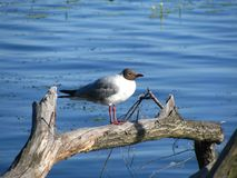 Black-headed gull is sitting on a log royalty free stock photos