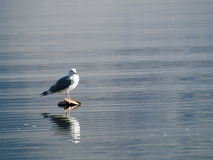 Gull sitting in the middle of the lake. A gull sitting in the middle of Kastoria's lake in Greece Royalty Free Stock Photos