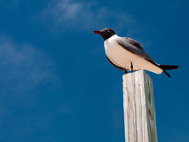 The gull is sitting on the post Royalty Free Stock Photography