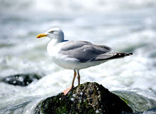 Gull sitting on a rock Stock Photography