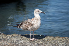 A gull is sitting on a rock near the sea Stock Photo