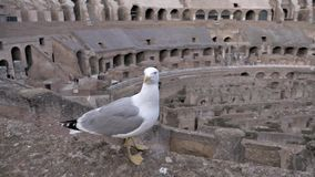Gull Sitting in Roman Colosseum Orbiting Shot stock video footage