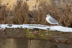 Gull enjoying bathing in the sun in winter time stock photos