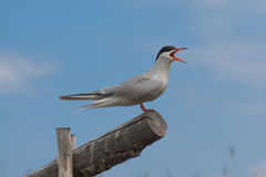 Gull sitting on a wooden log Stock Photos