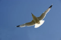 Gull in the sky Royalty Free Stock Images
