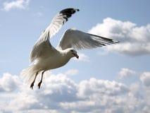 Gull in the sky. Gull in a cloudy sky Stock Photo