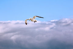The gull in the sky. The bird is flying in the blue sky Stock Photography