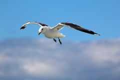 The gull in the sky. The bird is flying in the blue sky Royalty Free Stock Photos