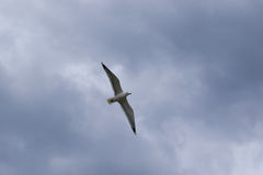 Gull. In the sky. Sea in Spain Stock Photography