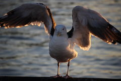 Gull Spread Stock Photo