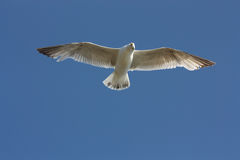 Seagull with spread wings. Flying seagull in the blue sky stock photography