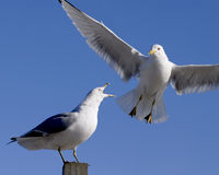 Gull Squawking. One seagull standing on a post squawking at another flying in Royalty Free Stock Photo