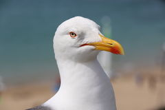 The gull of St Malo. A gull of St Malo, France Royalty Free Stock Photography