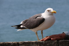 The gull of St Malo Royalty Free Stock Images