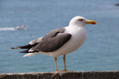 The gull of St Malo Stock Photography