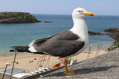The gull of St Malo Royalty Free Stock Photo
