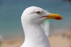 The gull of St Malo Royalty Free Stock Photography