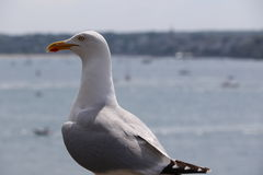 The gull of St Malo Stock Image