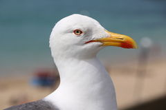The gull of St Malo Stock Photos