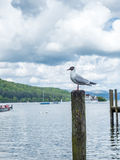 Gull stand on pole Stock Photography