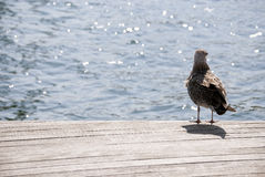 Gull standing on the boulevard Stock Photography