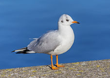 Gull standing on embankment stone Royalty Free Stock Photo