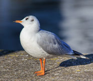 Gull standing on embankment stone Stock Photography
