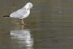 A seagull standing on the ice on the cemetery lake Southampton Common stock image