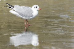 A seagull standing on the ice on the cemetery lake Southampton Common royalty free stock image