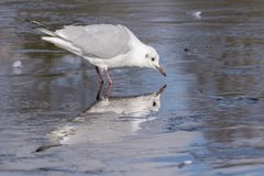 A seagull standing on the ice on the cemetery lake Southampton Common stock photography