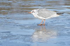 A gull standing on the  ice Stock Photos