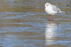 A gull standing on the  ice Royalty Free Stock Images