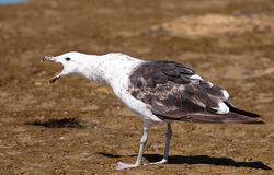 Gull standing its ground Royalty Free Stock Photos