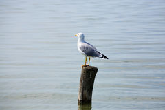 Gull standing on palisade Stock Photos