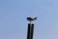 Gull standing on palisade Stock Photography