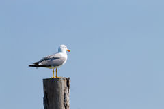 Gull standing on palisade Royalty Free Stock Photography