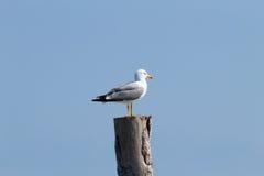 Gull standing on palisade Stock Photo