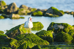 A gull standing on a rock Royalty Free Stock Images