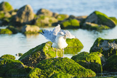 A gull standing on a rock Stock Images