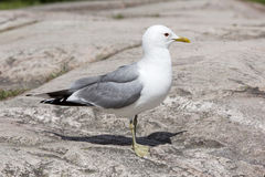 Gull standing on rock Stock Photo