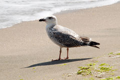 A gull standing on a seashore Stock Photo