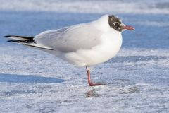 A seagull standing on the snowy ice on the cemetery lake Southampton Common stock photography