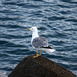 Gull standing on a Stone Stock Images