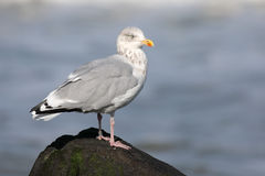 A gull standing on a stone Stock Photos