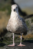 A gull standing on a stone Royalty Free Stock Photography