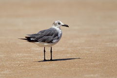 Gull stands on the sand. Stock Photography