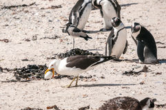 Gull stealing penguin egg Royalty Free Stock Photography