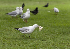 Gull stole a piece of bread Stock Image